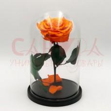 Живая роза в колбе ВИП оранжевая